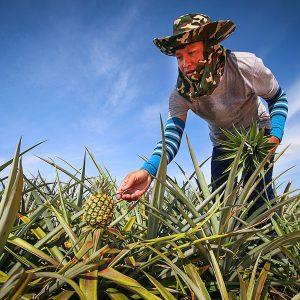 Se utiliza etileno para inducir la floración en las piñas, favoreciendo su crecimiento y facilitando la cosecha.