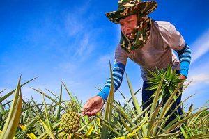 agroindustria etileno para maduración de piña